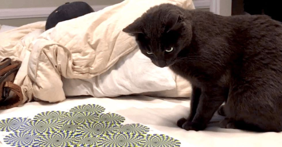 Cat Has Most Entertaining Freakout Ever Over This Mesmerizing Optical Illusion