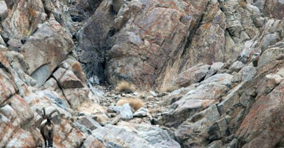 A Snow Leopard is in This Picture and if You Can't See It, You'd Be a Goner