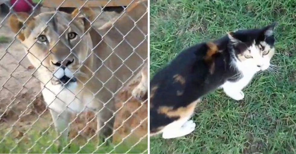 Kitten Proves She's No Scaredy Cat Against Lion