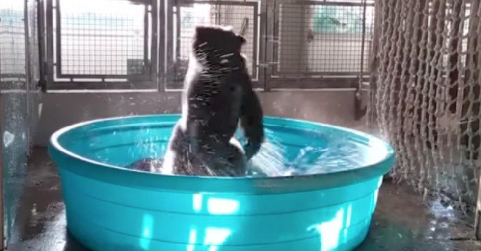 This Gorilla Dancing To 'Flashdance' Wins the Internet Today