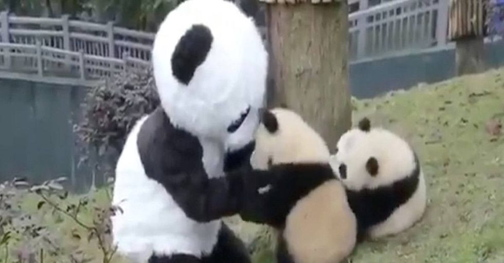 This Chinese Zoo Will Pay YOU To Cuddle Pandas