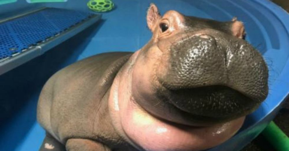This Baby Hippo Photobombing A Marriage Proposal Is The Best Thing You'll See All Day