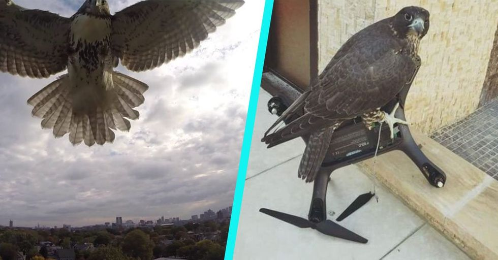 Apparently, Having Your Drone Stolen by a Hawk in Midair Is a Thing That Happens to People