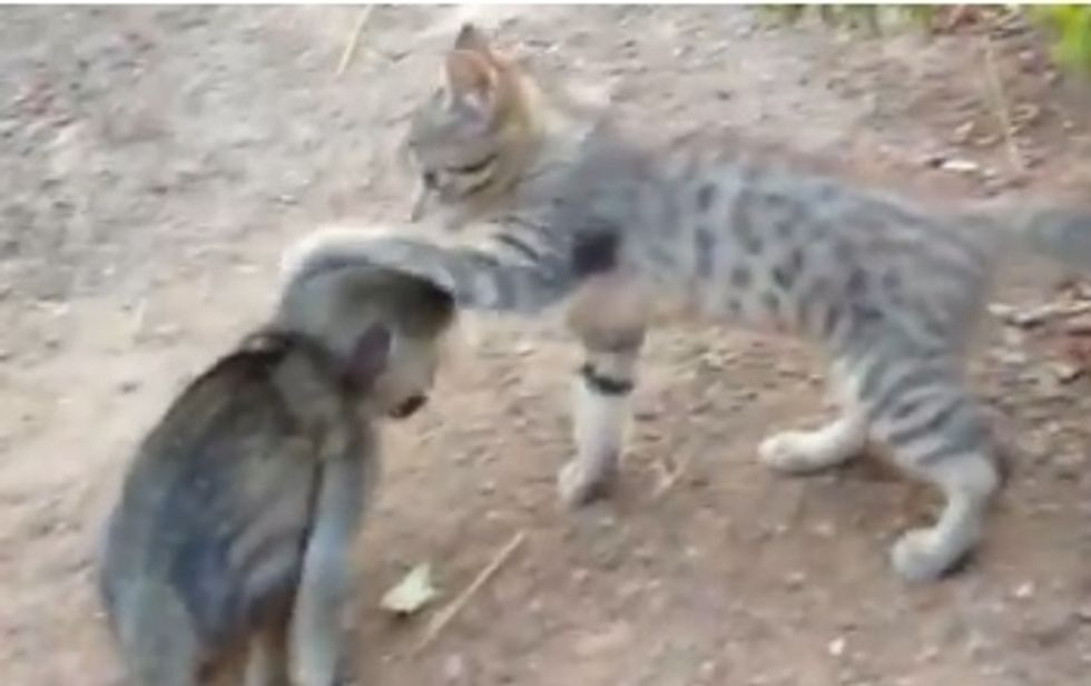 Kitten and baby monkey chasing and wrestling each other