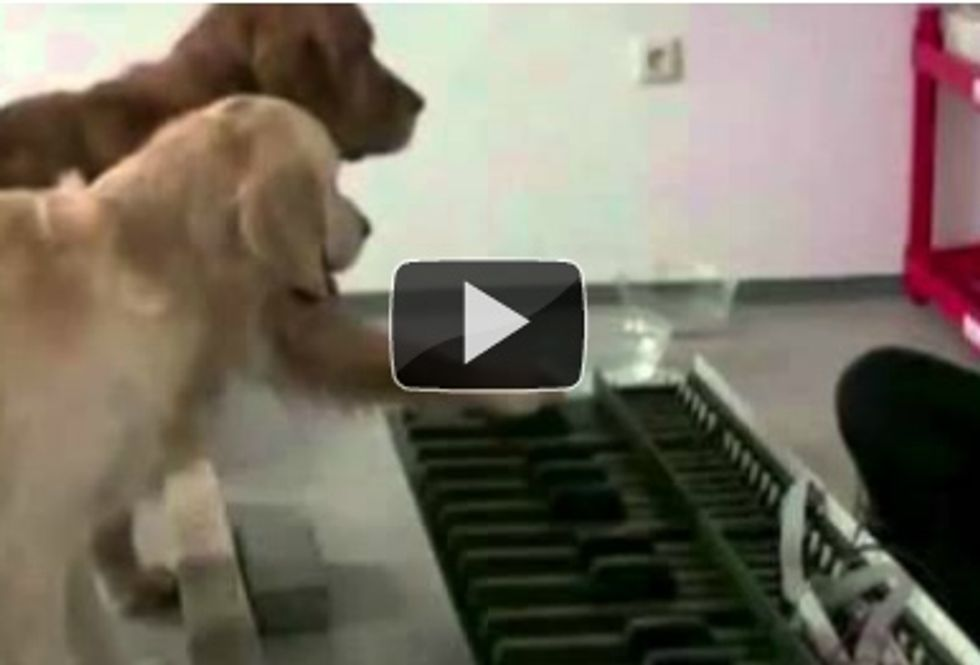 2 dogs play the piano while their owner conducts them