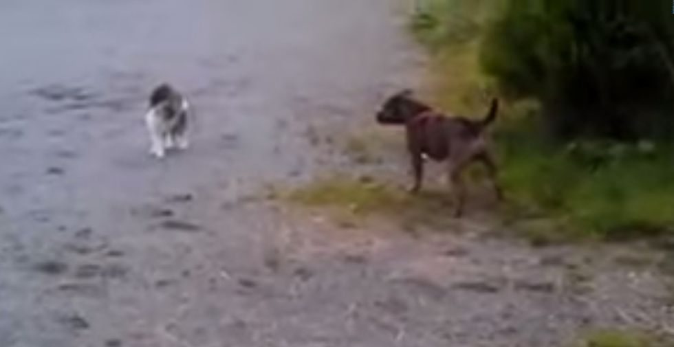 Altercation between cat and Staffy goes embarrassingly wrong for the dog