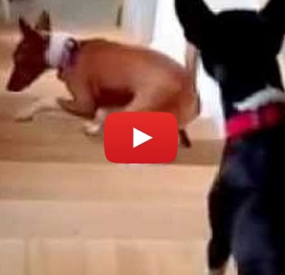 Confused dog backs up the stairs