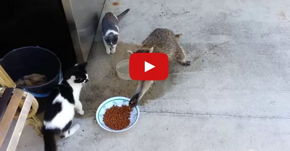 Raccoon steals a handful of cat food, runs away on 2 feet