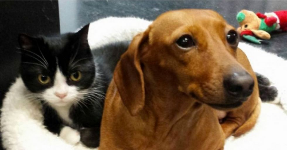 Dachshund is paralyzed kitten's constant protector and playmate [picture & video]