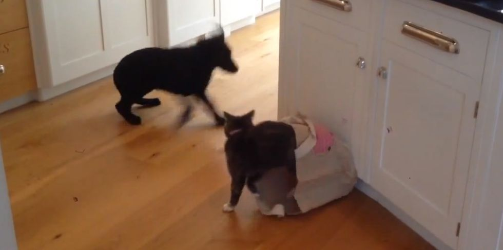 Cat hides in a bag to give a puppy the scare of its life