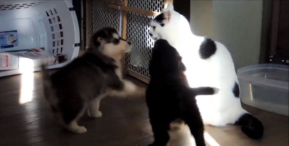 Excited 6-week-old puppies pester an incredibly patient cat