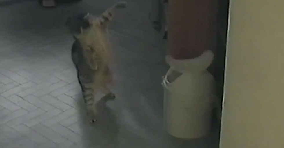 Cat is shocked onto two feet by the spinning garbage can lid, loves it