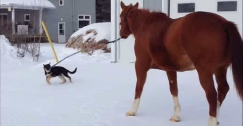 3-month-old puppy leads a full-grown horse on an amusing walk through the snow