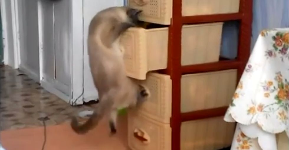 Curiosity gets the best of a cat