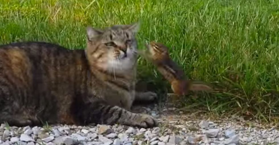 Chipmunk escapes cat's grasp, comes back to fight her