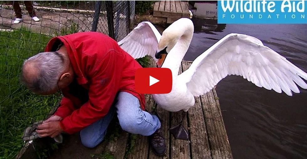British animal-lover attacked by angry swan as he saves its baby. Funny and incredibly sweet…