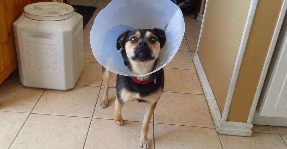 Slightly Stoned Dog Thinks She Can't Move While She's Wearing Her Cone of Shame