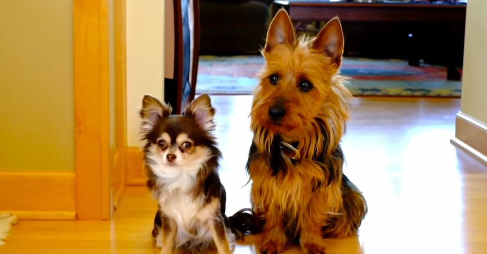 Sneaky Dog Blames Puppy Sister When Asked 'Who Pooped in the Kitchen?'