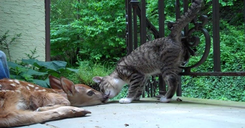 Watch A Kitten Try to Get A Baby Deer to Play...and Totally Fail