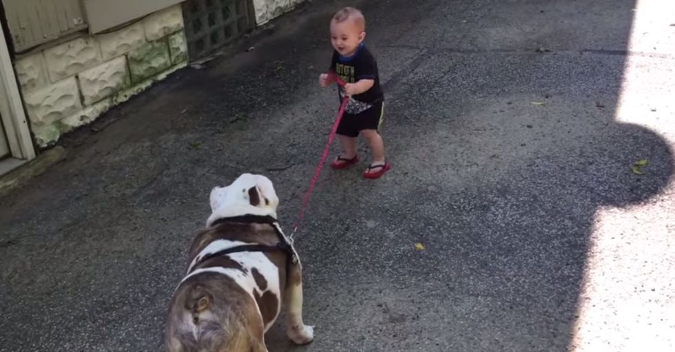 Tiny Tot Tries to Take Huge Bulldog For a Walk