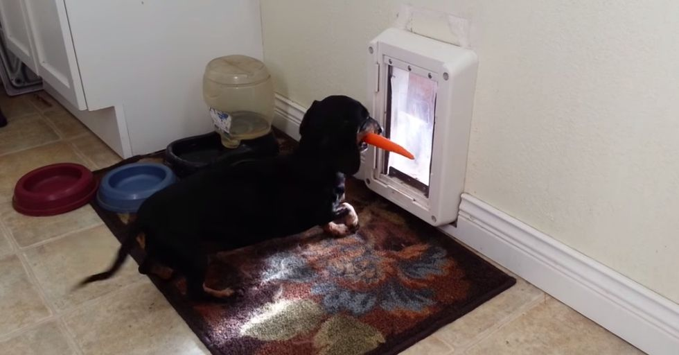 Weiner Dog Just Can't Seem To Get His Carrot Through the Dog Door