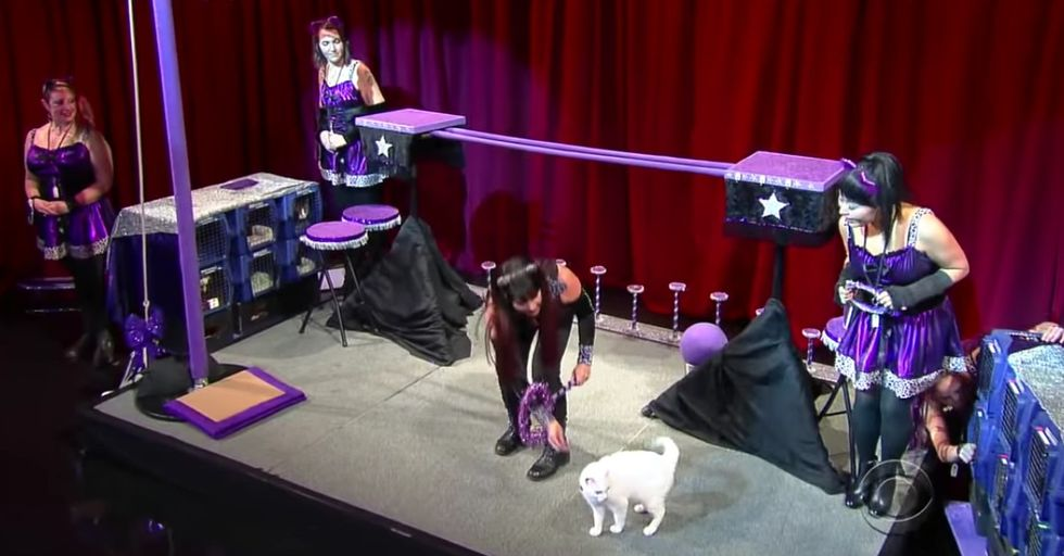 The Amazing Acro-Cats Performed On Colbert Are Were Even More Impressive Than You'd Expect