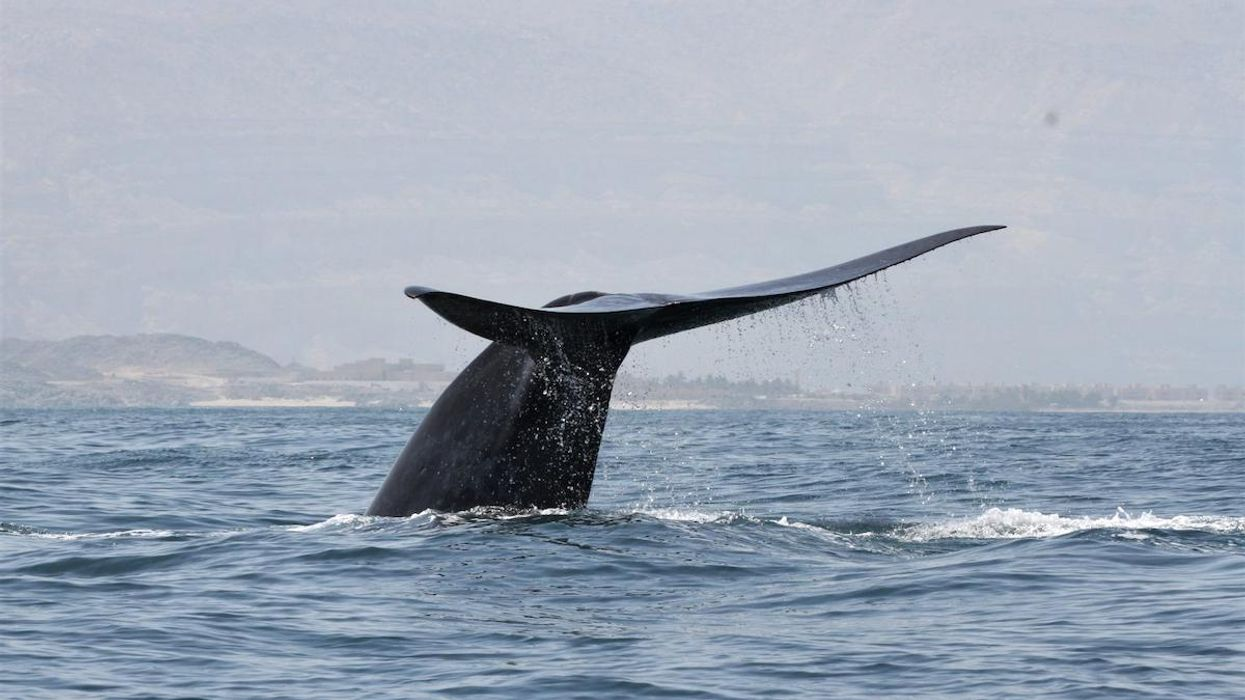Scientists Discover New Population of Endangered Blue Whales Using Their Song