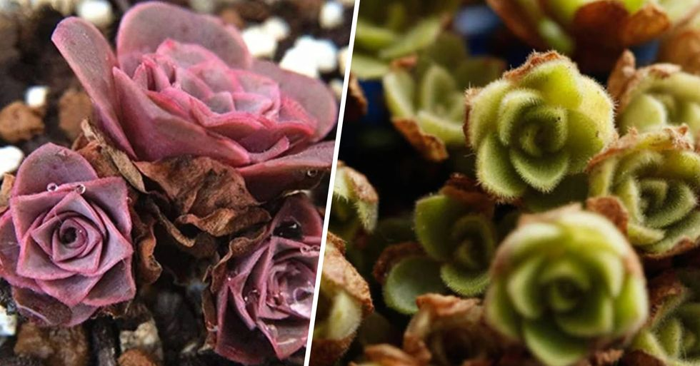 Rose Succulents Are a Thing and They Look Like Something Straight out of a Fairytale