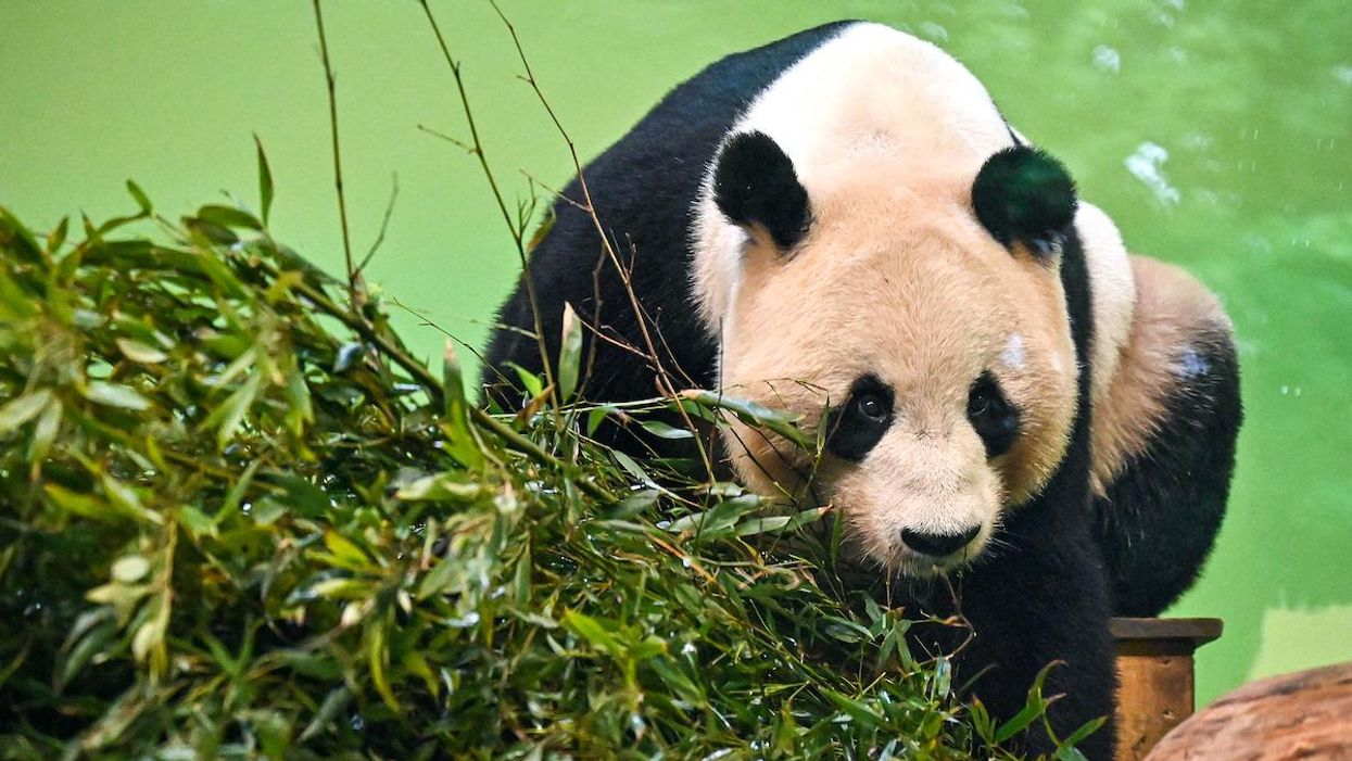 Edinburgh Zoo May Have to Give up Giant Pandas Due to Budget Woes From Coronavirus, Brexit