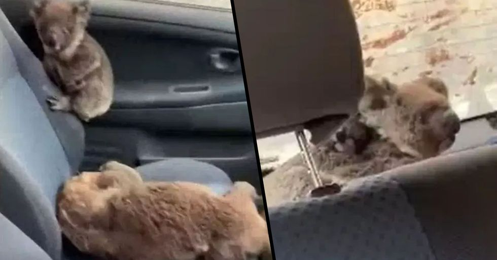 Teens Praised for Driving Around and Filling Their Car With Koalas They've Saved From Flames