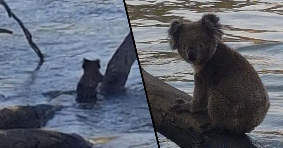 Koala Cools off From Bushfire Heat by Taking a Dip in a River in Adorable Pics