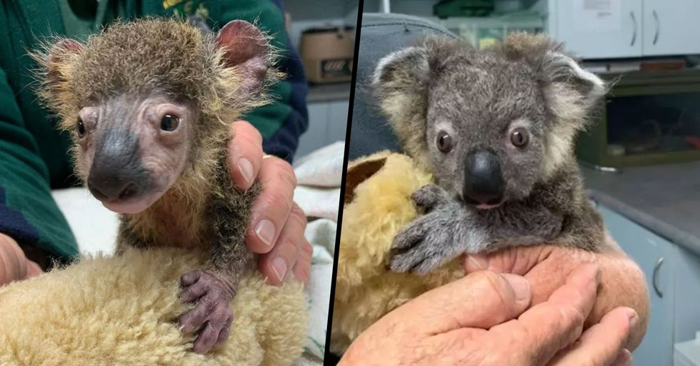 Tiny Koala Joey Makes Remarkable Recovery After Being Found Near Bushfires