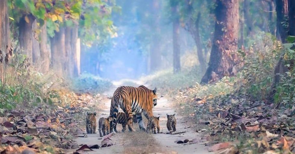 Incredible Picture Shows Tigers Walking Through Forest With Five Cubs