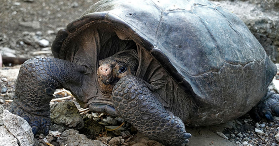 Giant Tortoise Species Thought to Be Extinct Found Alive in the Galapagos