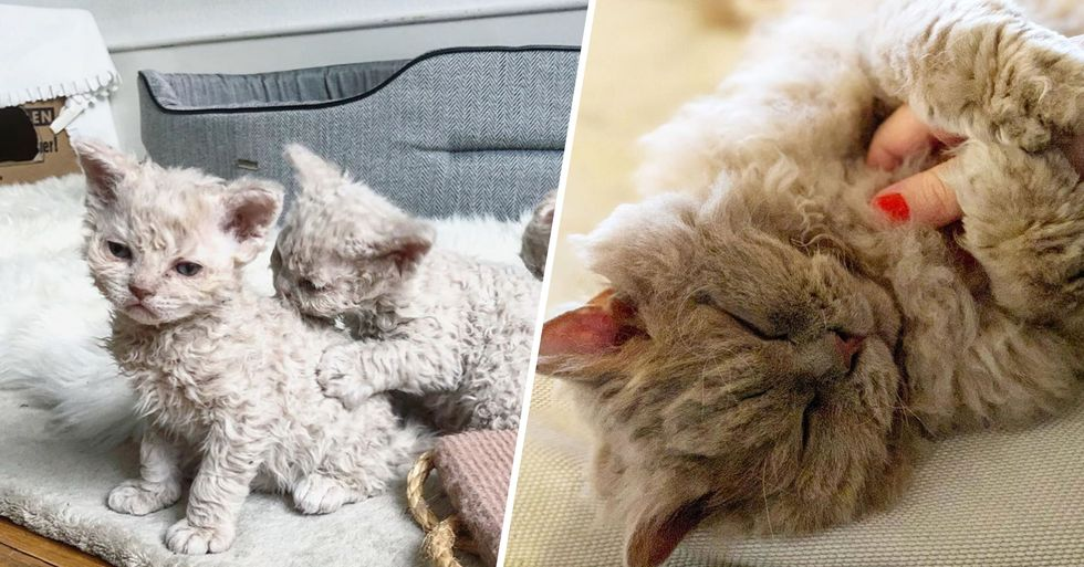 'Poodle Cats' Are the Pets You Never Knew You Needed in Your Life