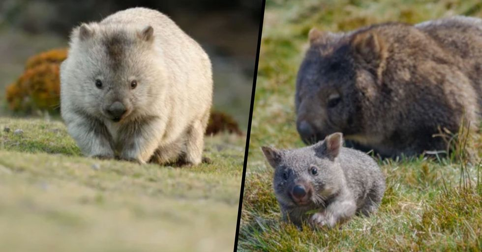 Wombats Have Been Sheltering Other Animals in Their Burrows Amid Australian Bushfires