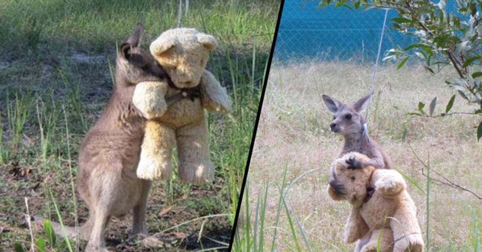 Touching Moment an Orphaned Kangaroo Hugs a Teddy Bear Amid Bushfire Crisis