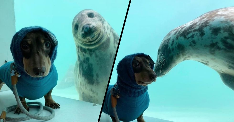 Sausage Dog and Seal Become Best Friends After Meeting on Vacation