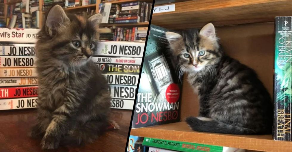 Bookstore Is Filled With Kittens Looking for Forever Homes