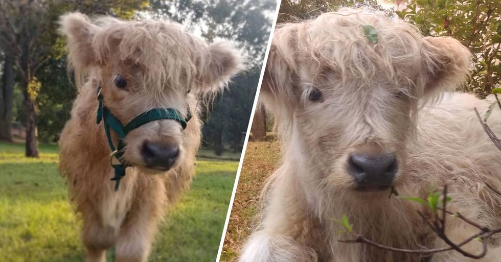 You Can Now Own a Fluffy Mini Cow and They're Adorable