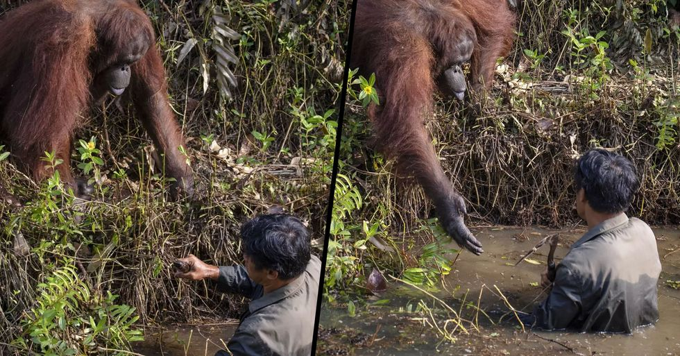 Incredible Moment Orangutan Reaches out to Help Man Standing in Snake-Filled River
