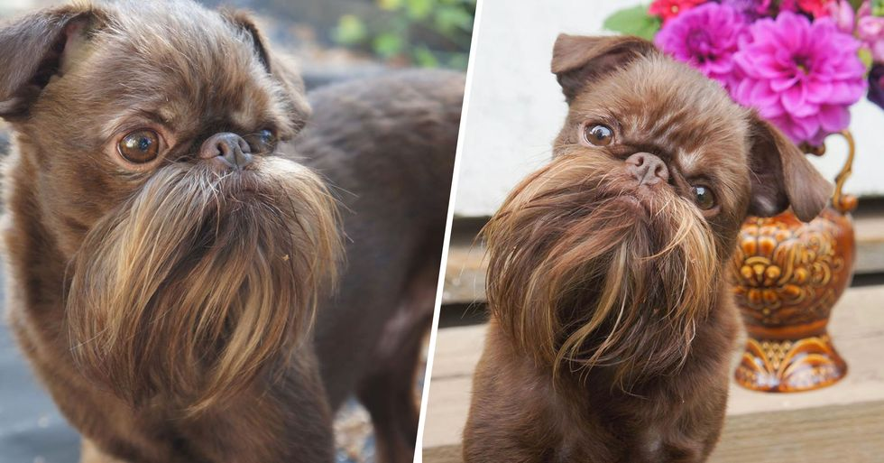 Hipster Pup Nicknamed Chewbacca Has a Fully-Grown Beard