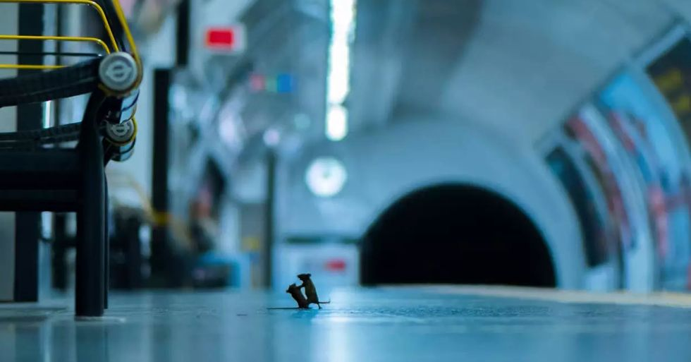 Mice Fighting on London Underground Platform Wins Wildlife Photography Award