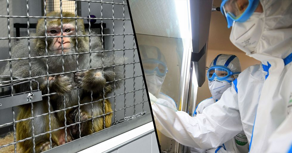 Lab Monkeys Infected With Coronavirus in Desperate Bid to Find Cure