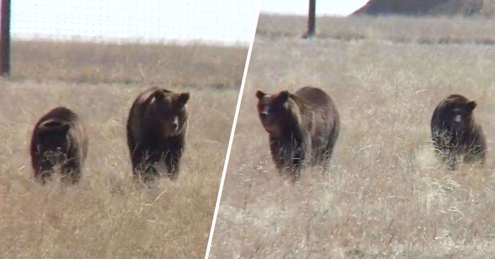 Two Circus Bears Taste Freedom for the First Time in 17 Years