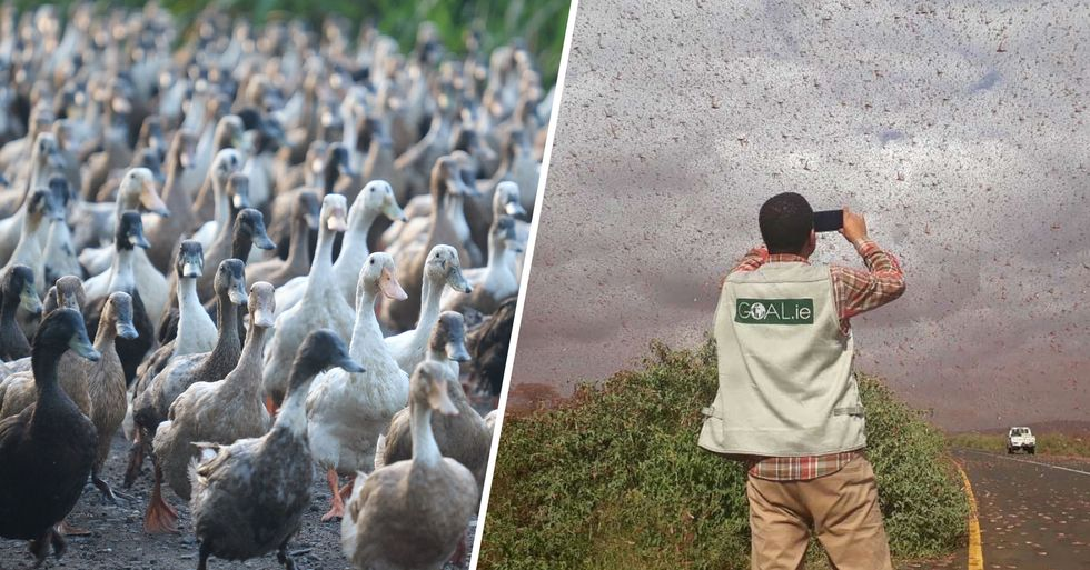 China Reportedly Readying Army of 100,000 Ducks to Battle Plague of Locusts