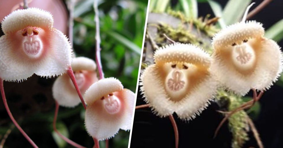 These Rare Orchids Look Exactly Like Tiny Monkey Faces