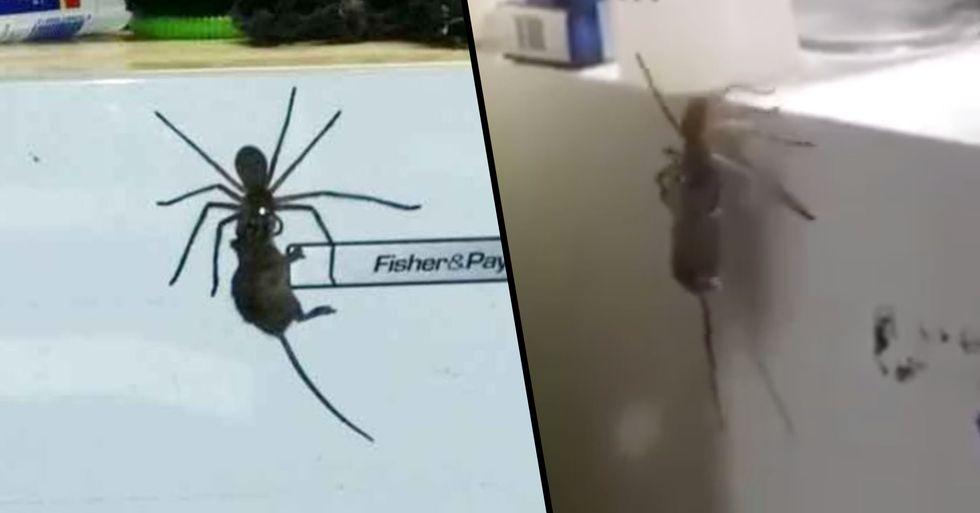 Australian Man Films Huge Huntsman Spider Carrying a Dead Mouse