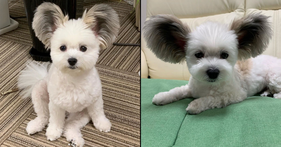 Dog With Huge Ears Has People Going Crazy
