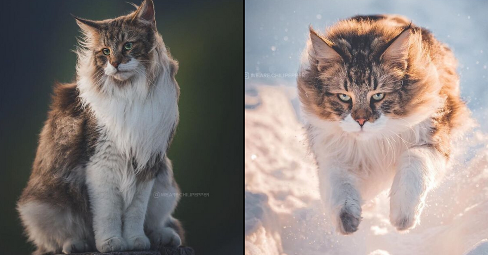 This Norwegian Forest Cat Lives And Looks Like The Pet Of A Nordic God